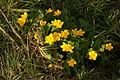 Caltha palustris PID762-1.jpg