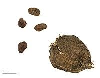 Calycanthus floridus MHNT.BOT.2009.7.13.jpg