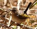 Camaroptera brachyura -Mapungubwe National Park, Limpopo, South Africa-8.jpg