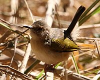 Camaroptera brachyura -Mapungubwe National Park, Limpopo, South Africa-8