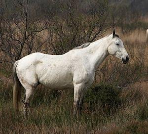 Camargue horse - Image: Camarquehorse