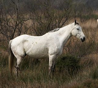 horse breed
