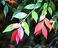 Camellia lutchuensis var. minutiflora in Auckland Botanic Gardens 01.jpg