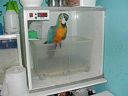 Ara ararauna em tratamento numa c�mara de aquecimento