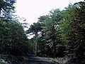 Camino al refugio del volcán Llaima en Parque Nacional Conguillio (febrero 2011) - panoramio (4).jpg