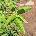 Campylotropis macrocarpa in La Jaysinia (4).jpg