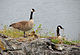 Canada Geese and goslings, Ruckles Park.jpg