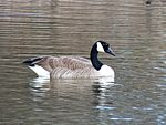 Canada Goose - Flickr - treegrow (1).jpg