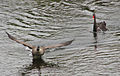 Canada Goose chased by Black Swan, Dutchy's Hole, Ottawa.jpg
