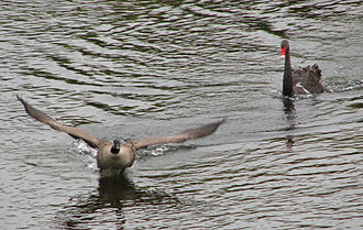 Dutchy's Hole Park - Canada goose chased by a black swan in Rideau River beside the park