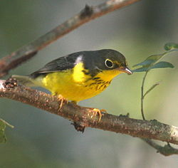 Canada Warbler on Bough.jpg