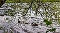 Canada goose (39031885721).jpg