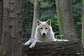 Canis lupus arctos - Tiergarten Schönbrunn 3.jpg