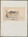 Canis mesomelas - 1833-1866 - Print - Iconographia Zoologica - Special Collections University of Amsterdam - UBA01 IZ22200117.tif