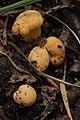 Cantharellus cibarius (36751632090).jpg