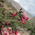 Cantua buxifolia-IMG 7040.JPG