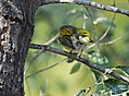 Cape May Warbler (23847645628).jpg