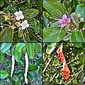 Capparis cynophallophora - Jamaica caper tree (13740546665).jpg