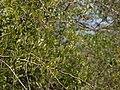 Capparis sepiaria (8631787748).jpg