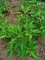 Capsicum frutescens 'Hidalgo' 001.JPG