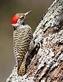 Cardinal Woodpecker - MALE, Dendropicos fuscescens at Pilanesberg National Park, Northwest Province, South Africa (14905417907).jpg
