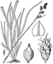 Carex brunnescens drawing 1.png