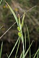 Carex pallescens inflorescens (4).jpg