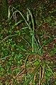 Carex pendula plant (14).jpg