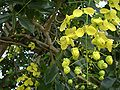 Cassia fistula, closeup.jpg