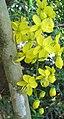 Cassia fistula flower.jpg
