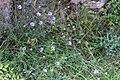 Catananche caerulea - Blå gräsfibbla-3000 - Flickr - Ragnhild & Neil Crawford.jpg