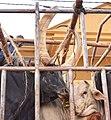 Cattle Truck, Uganda (15360103193).jpg