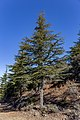 Cedrus brevifolia in Mt Tripylos, Troodos Mountains, Cyprus 03.jpg
