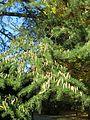 Cedrus pollen cones (Vaires) 1.jpg
