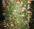 Ceiba speciosa (stem).jpg