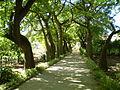 Ceiba speciosa - Orto Botanico di Palermo 05.jpg