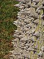 Ceiba speciosa K4.jpg