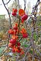Celastrus orbiculatus (Kowal garden).JPG