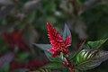 Celosia argentea-Spicata.jpg