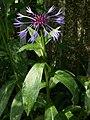 Centaurea montana-0199.jpg