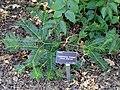 Cephalotaxus fortunei - J. C. Raulston Arboretum - DSC06123.JPG