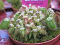 Cephalotus follicularis (garden centre).jpg