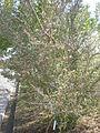 Cercocarpus minutiflorus 1c.JPG