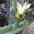 Cereus huilunchu.jpg