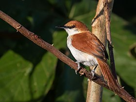 Certhiaxis mustelinus - Red-and-white spinetail, Iranduba, Amazonas, Brazil.jpg