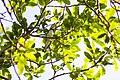 Cerulean warbler (40896661414).jpg