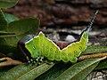 Cerura vinula (larva) - Puss moth (caterpillar) - Большая гарпия (гусеница) (29116714868).jpg