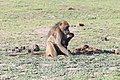 Chacma baboon in Chobe National Park 01.jpg