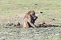 Chacma baboon in Chobe National Park 01.jpg