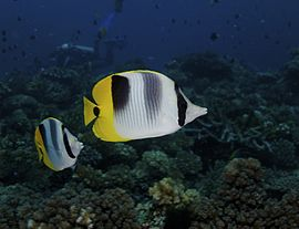 Chaetodon ulietensis Pacific Double-saddle Butterflyfish Beqa by Nick Hobgood.jpg